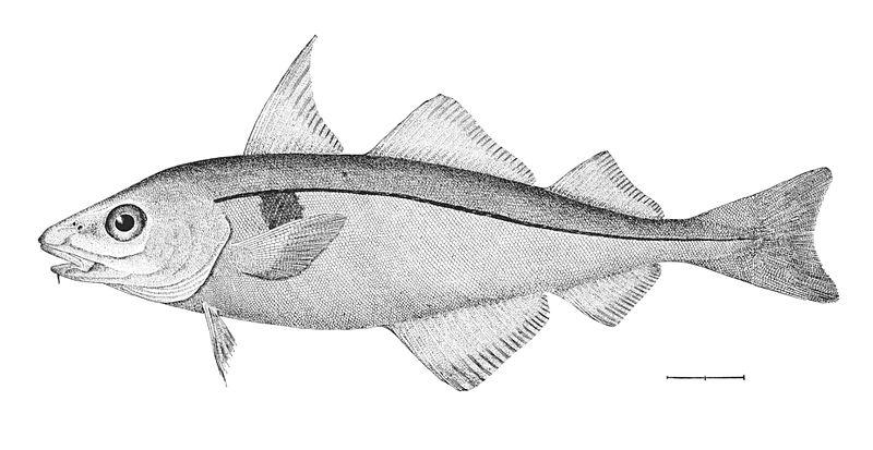 File:Melanogrammus aeglefinus.jpg