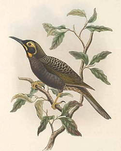 Melidectes ochromelas - The Birds of New Guinea.jpg