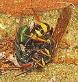 Mellinus arvensis wasp with prey (9741197347).jpg