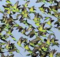 Melopsittacus undulatus flock 5.jpg