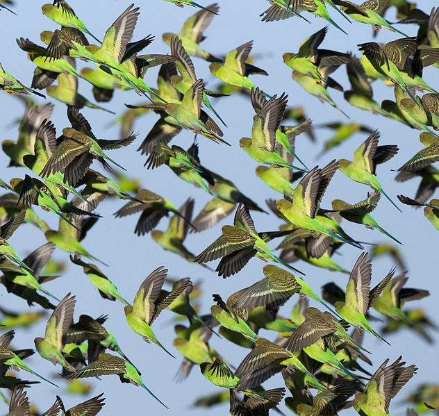 File:Melopsittacus undulatus flock 5.jpg