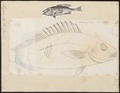 Mesoprion aya - - Print - Iconographia Zoologica - Special Collections University of Amsterdam - UBA01 IZ12900304.tif