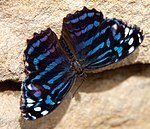 Mexican Blue Wing butterfly 1 (5663024444).jpg