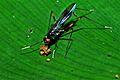 Micropezid Fly (Mimegralla sp.)(fuelleborni ?) (7080160761).jpg