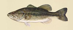 Largemouth bass (Micropterus salmoides). Drawi...