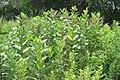 Milkweed 105.jpg