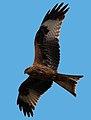 Milvus milvus -Hamerton Zoo, Cambridgeshire, England -flying-8a.jpg