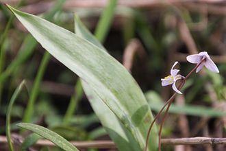 Erythronium propullans - Image: Minnesota Dwarf Trout Lily