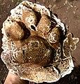 Molde em gesso de pegada de onça parda (Puma concolor).jpg