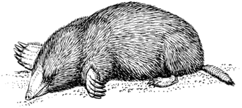 English: Line art drawing of a mole.