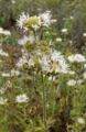 Monardella hypoleuca ssp lanata 2.jpg