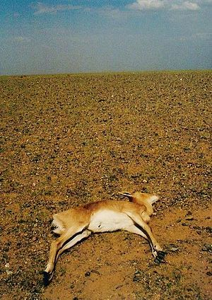 A Mongolian gazelle that has died of drought, ...
