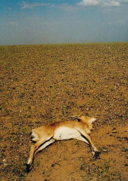 A Mongolian gazelle dead due to drought. Mongolian Gazelle dead of drought.jpg