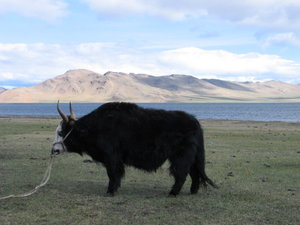 Agriculture in Mongolia - The Mongolian yak which still plays a role in farming in the least developed and poorer parts of Mongolia