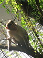 Monkey from wayanad.JPG