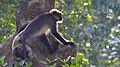 Monkey on tree in Trivandrum zoo.jpg