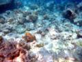 Moofushi bleached corals.JPG