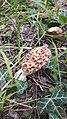 Morchella esculenta 16557976.jpg