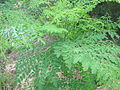 Moringa oleifera NP.JPG