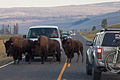 Morning Traffic in the Lamar Valley (3952557621).jpg