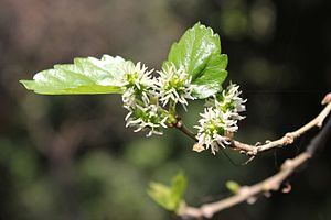 Morus alba - Morus alba flowers in India