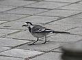 Motacilla alba alba (Madrid, Spain) 02.jpg