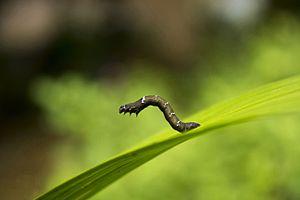 Moth - Moth larva from India