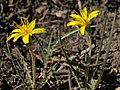 Mountain dandelion, Agoseris parviflora (49058543167).jpg