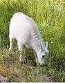Mountain goats near Mount Rushmore (328818907).jpg