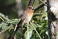 Moustached Puffbird (Malacoptila mystacalis) (8079771280).jpg