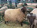 Mouton (16).jpg
