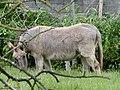 Mule poitevine en Mayenne (2).jpg