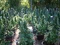 Mullaways Medical Cannabis Research Crop.JPG