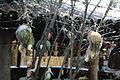 Munecas empaladas y enmarañadas en hilos de telas de aranas.JPG