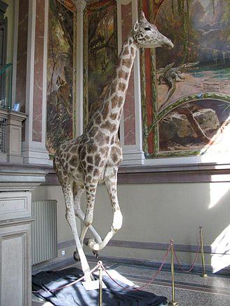 Musée zoologique de la ville de Strasbourg - A stuffed giraffe and frescoes at the entrance to the museum.