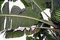 Musa acuminata 11zz.jpg