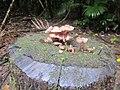 Mushrooms at Nightcap NP.JPG
