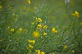Mustard (Brassica) flowers and seed pods D35 2154 01.jpg