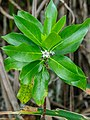 Myoporum wilderi-3.jpg