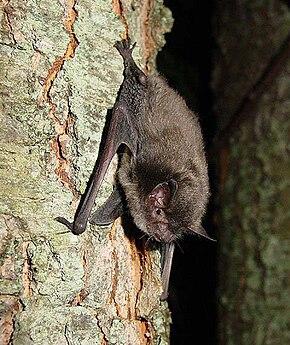 Gestation Chauve Souris myotis sodalis — wikipédia