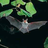 Myotis bechsteinii-flying.jpg