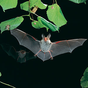 English: An echolocating bat (Myotis bechstein...