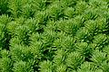 Myriophyllum aquaticum JdP 2013-06-08.jpg