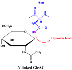N-linked glycosidic bond.png