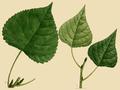 NAS-096y Populus deltoides & ssp monilifera.png