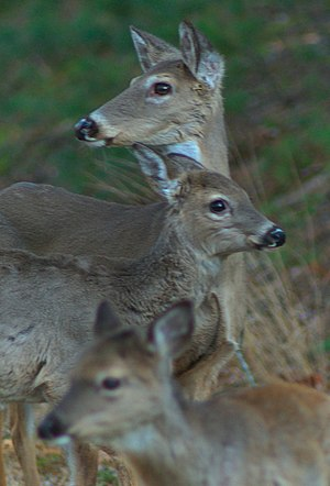 Wildlife of North Carolina -  Deer feeding at Roadside; doe with fawns