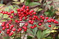 Nandina domestica berries-5142~2016 01 03.JPG