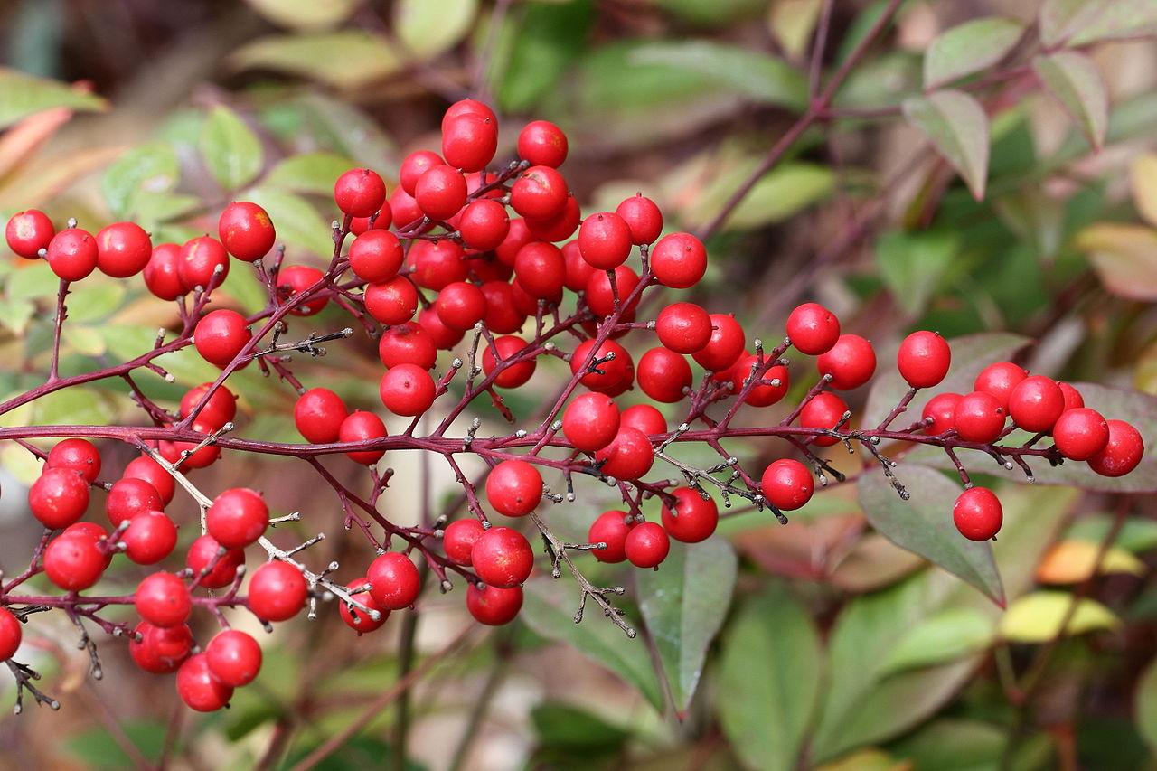 File:Nandina domestica berries-5142~2016 01 03.JPG ...