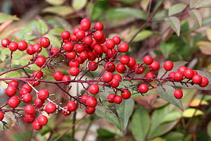 Nandina - Berries of the sacred bamboo