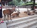 Nara Park Shika.jpg